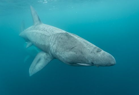 Winner of An Taisce Clean Coasts' Love Your Coast Photography Competition Underwater, Photographer Nick Pfeiffer, Basking Shark, taken at Aran Islands, Co Galway