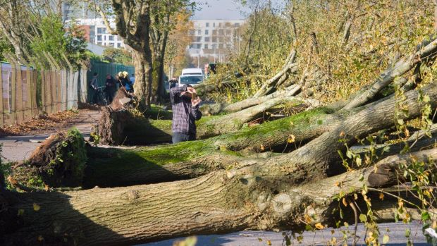 Felled trees which stood for over 100 years line the Marina in Cork city following Storm Ophelia. Photograph: Daragh Mc Sweeney/Provision