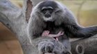 Zoo celebrates arrival of tiny baby gibbon
