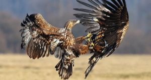 A file image of White Tailed Eagles fighting over scraps of food. The species was among the birds of prey recorded as being poisoned and shot by the National Parks and Wildlife Service last year. Photograph: Neil O'Reilly.