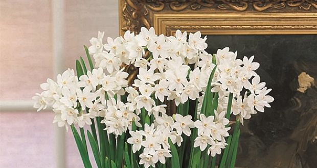 This week in the garden plan and plant now for the festive season paperwhites their tall deeply perfumed multi headed ghostly white flowers can fill mightylinksfo