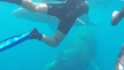Agitated humpback whale hits over-eager diver with its tail