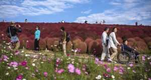 Enjoying the red Kochias (summer cypress) at Hitachi Seaside Park in Katsuta, Japan. Photograph: Carl Court/Getty Images