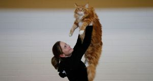 TOP MOGGIE: Melvin, a red Maine Coon, with owner Marina Steiner-Browne from Limerick, at the Dublin Championship Cat Show at the weekend at Knocklyon Community Centre, Dublin.  Photograph: Nick Bradshaw/The Irish Times