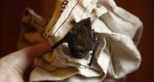 Carefully pick up the  bat (if you dare!), put it in a shoe box, and find a dark, safe spot in a bush or tree where it can continue sleeping.  Photograph: Alan Betson/The Irish Times