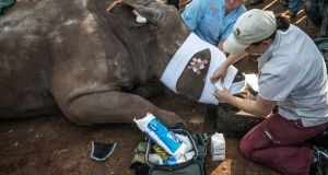 Veterinarians applying bandages and stitches to a de-horned rhinoceros that was left to die by poachers on a ranch in Bela Bela, some 150km north of Johannesburg, South Africa, in 2016. Photograph: Mujahid Safodien/AFP/Getty Images