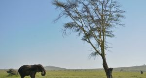 "A photo taken on May 21st 2015 shows an elephant at the Lewa Wildlife Conservancy at the foot of Mount Kenya, approximately 300 km north of the capital Nairobi. ""Runaway consumption"" has decimated global wildlife, triggered a mass extinction and exhausted Earth's capacity to accommodate humanity's expanding appetites, the global conservation group WWF warned on Tuesday. Photograph: Tony Karumba/AFP/Getty Images"