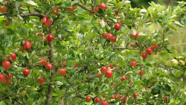 Apples growing in an Irish garden. Photo: t Richard Johnston