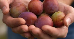 Freshly harvested Irish plums. Photo:  Richard Johnston