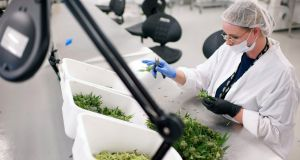 An employee manually trims medical cannabis plants in Ontario, Canada. File photograph: James MacDonald/Bloomberg via Getty Images