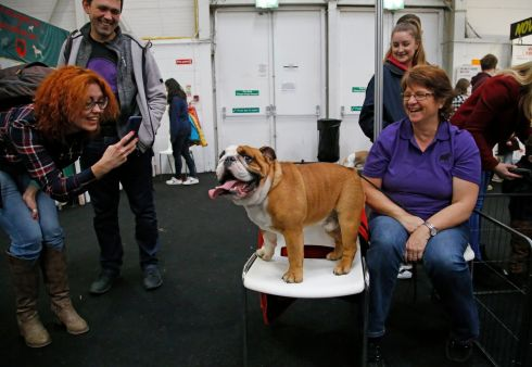 PEDIGREE CHUMLEE: An English bulldog from Wexford called Chumlee lords it up at the Pet Expo exhibition at the National Show Centre, Swords. Photograph: Nick Bradshaw/The Irish Times