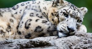 Adult snow leopard: 99 per cent of threatened species are at risk from human activities. Photograph: Getty Images