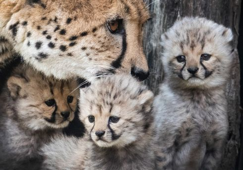 CATS' MOTHER: A cheetah mother stands next to her three babies at the zoo in Muenster, western Germany. Photograph: Bernd Thissen/dpa/AFP/Getty Images