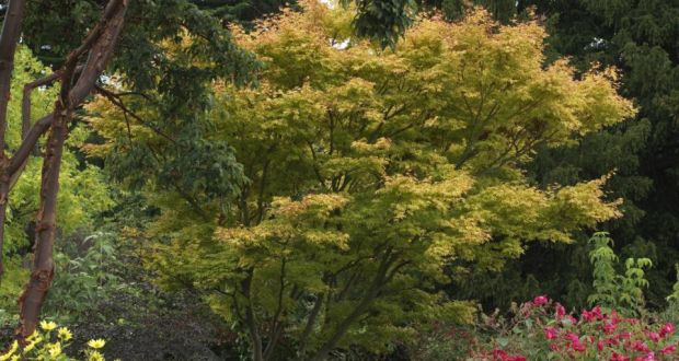 A Japanese Acer In Brilliant Autumn Colour In Heen Dillonu0027s Old Garden.  Photograph: Richard