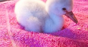 This is one of Belfast Zoo's first chicks since it became home to Chilean flamingos in 2010
