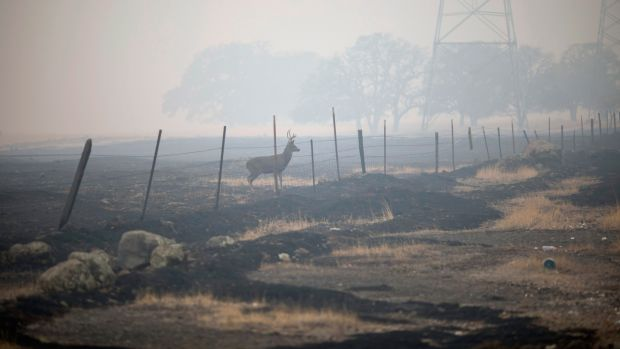 A deer stands in the smoky haze in Paradise. At least 48 people have died in the Camp Fire, the deadliest wildfire in the state's history. Photograph: Eric Thayer/The New York Times