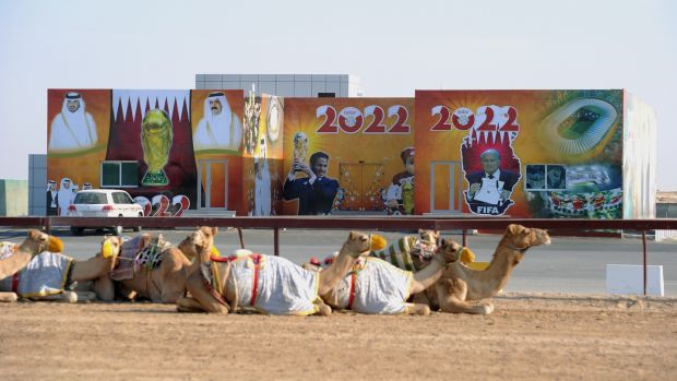 Some camels lie in the sun in front of advertisements in Doha for the 2022 World Cup. Photo: Pressefoto Ulmer\ullstein bild via Getty Images