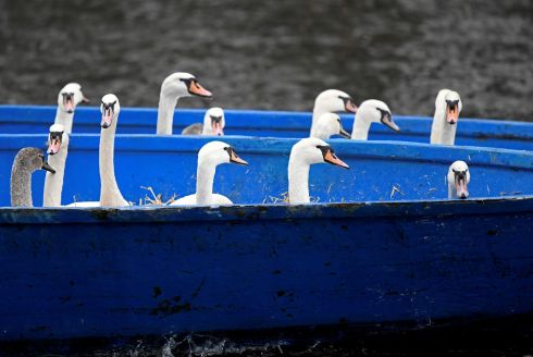 "SWAN LAKE: Swans are kept together in a boat after they had been caught at Hamburg's inner city lake, Alster, by ""Swan Father"" Olaf Niess and his rescue team, who will bring them to their winter quarters in the German city. Photograph: Fabian Bimmer/Reuters"