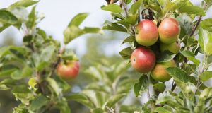 Grafting workshops can see people create 80 new apple trees for €80