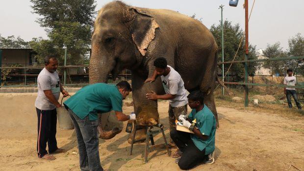 first hospital for elephants opens in india photograph anushree fadnavisreuters vets treat a wound of asha a female  elephant at the wildlife sos elephant