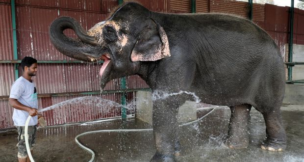 first hospital for elephants opens in india a handler bathes coconut a female elephant at the wildlife sos elephant  conservation and