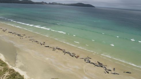 Dead pilot whales on a remote beach on Stewart Island in the far south of New Zealand. Up to 145 have died in a mass stranding. Photograph: AFP/Getty Images