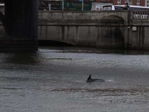 SOMETHING FISHY: A common dolphin swims in the River Liffey near Butt Bridge, Dublin on Wednesday, November 28th. Photograph: Clowie Russell/Irish Whale and Dolphin Group