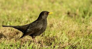Blackbird (Turdus merula). Photograph: Brian Burke/Birdwatch Ireland