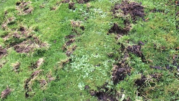Badger-related lawn damage
