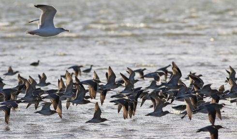 A Gull travelling with the Sandpipers at Clontarf.  Photograph: Nick Bradshaw