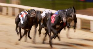 Greyhounds in action at Shelbourne Park. The bet's the thing, which is why dogs in Kilkenny can be a market in Kolkata. Photograph: Donall Farmer/Inpho
