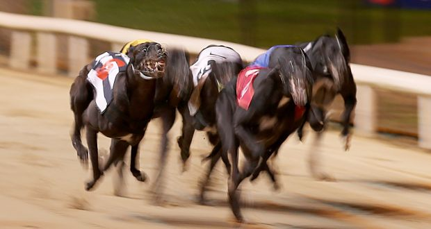 shelbourne dogs betting odds