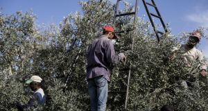 Palestinian farmers pick olives in the Al-Bureij refugee camp, south of the Gaza Strip. The fruit is a staple for many local farmers. Photograph: Mahmoud Issa/Getty Images