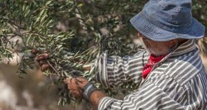 Murad Alkufash harvesting olives in Marda village. Photograph: Niall Sargent