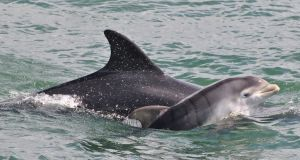 For your best chance of a dolphin sighting, head to the mouth of the Shannon estuary, along the Wild Atlantic Way at the Loop Head peninsula.  Photograph: Isabel Baker/Shannon Dolphin and Wildlife Foundation
