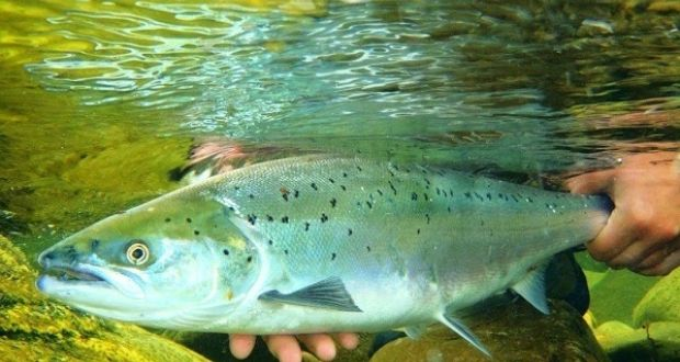 Angling Notes: Welsh move to protect salmon and sea trout stocks