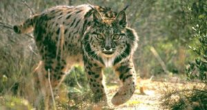 By 2002, the Iberian lynx's population had crashed to just 94 known individuals in the wild.