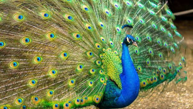 Peacocks were once the meat of choice for the royal Christmas dinner table. Photograph: iStock