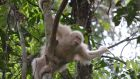 Female albino orangutan Alba on a tree after members being released into the wild. Photographs: EPA/handout.