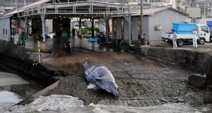 A Baird's beaked whale is pulled out of the water at a slaughterhouse in Wada Port, Chiba Prefecture, Japan, July 30th 2009. Photograph: Frank Robinchon/EPA