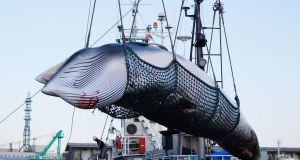 Whale consumption accounts for 0.1 per cent of all Japanese meat consumption. Photograph: EPA