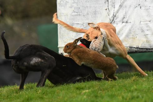 LIGHTING FAST: Greyhounds have a very close encounter with a hare during a coursing meeting in Abbeyfeale, Co Limerick. Photograph: Clodagh Kilcoyne/Reuters