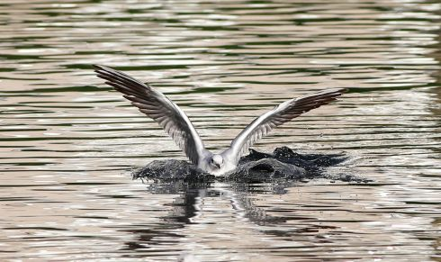 SILVER SURFER:  A Seagull lands on its mirrored reflection in Dublin. Photograph Nick Bradshaw: The Irish Times