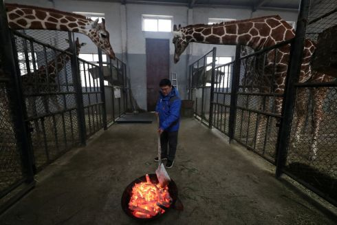 WATCHING OVER HIM: A worker lights a brazier on a cold winter day at an enclosure for giraffes in a zoo in Ningbo, Zhejiang province, China. Photograph: Reuters