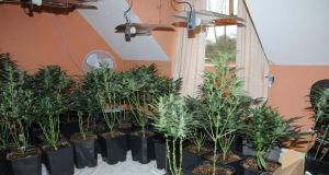 A file image showing cannabis plants being grown in a house.