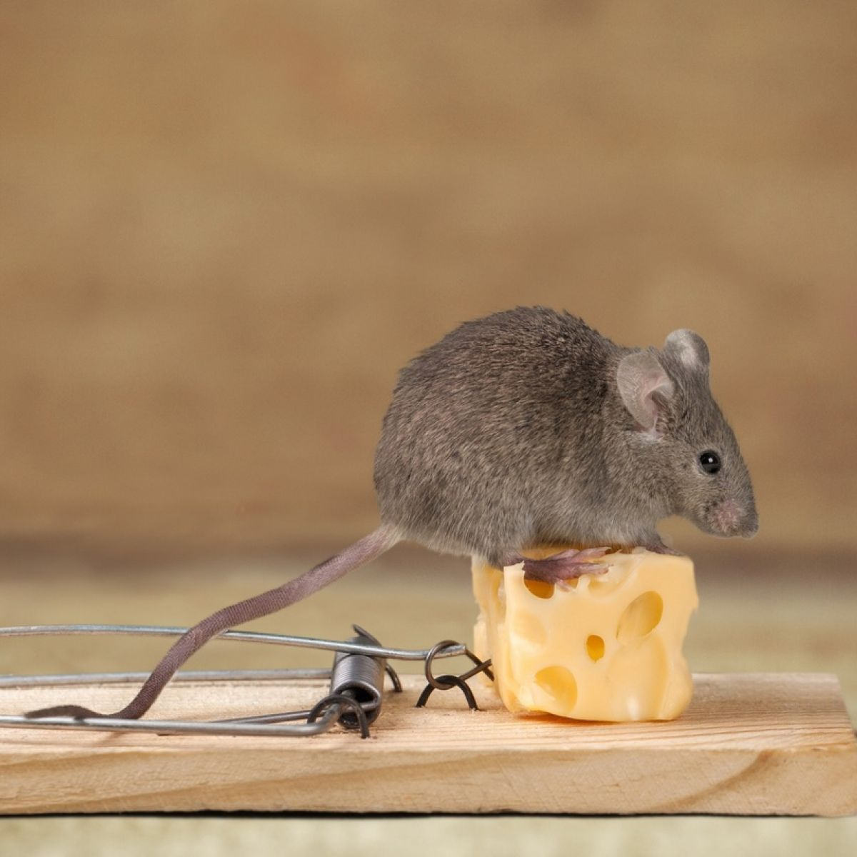 Our Neighbour Has Mice How Can We Stop Them Getting Into Our House