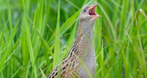 The corncrake, known for its rasping call, was once widespread across the countryside, but the population was decimated by mechanised farming. Photograph: iStock