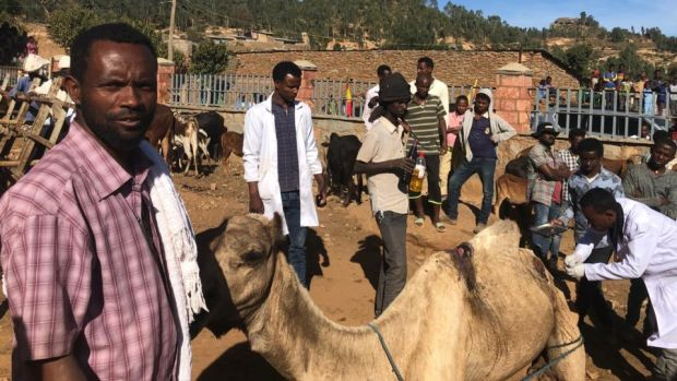Veterinary staff treat an injured camel in Wukro Maray, Ethiopia. Photograph: Harry McGee