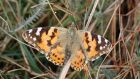 A Painted Lady butterfly pictured on a headland west of Castletownbere, Co Cork by Patrick Lyne