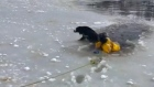 Ice, ice, save me: dog rescued from frozen pond